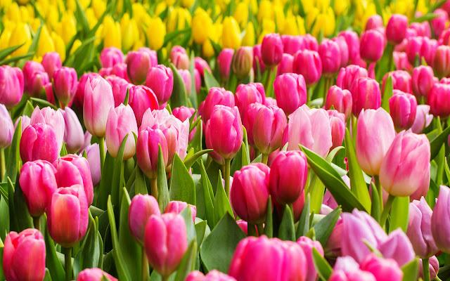 4. Bunga Tulip