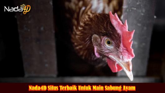 Nada4D Situs Terbaik Untuk Main Sabung Ayam