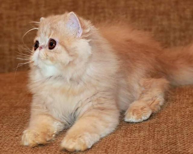 Brachycephalic Persian cat with bulging eyes and flat face