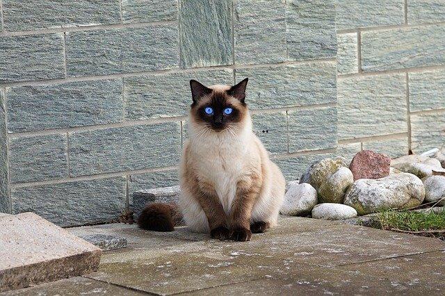 Ciri-Ciri Kucing Siam