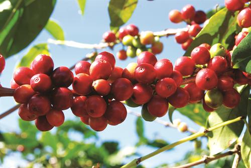 Giá cà phê hôm nay 21/4: Tăng đồng loạt 100 - 300 đồng/kg ở tất cả địa phương