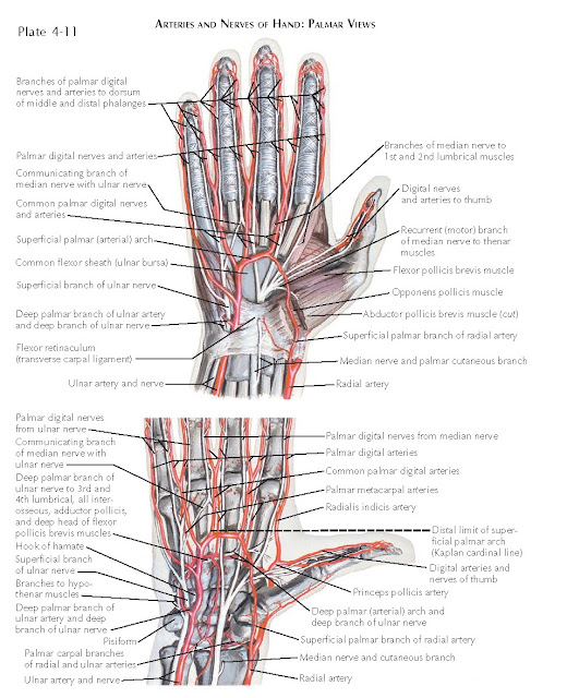 VASCULAR SUPPLY OF THE HAND AND FINGER