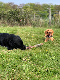 Labrador chewing a stick next to open-mouthed cocker spaniel