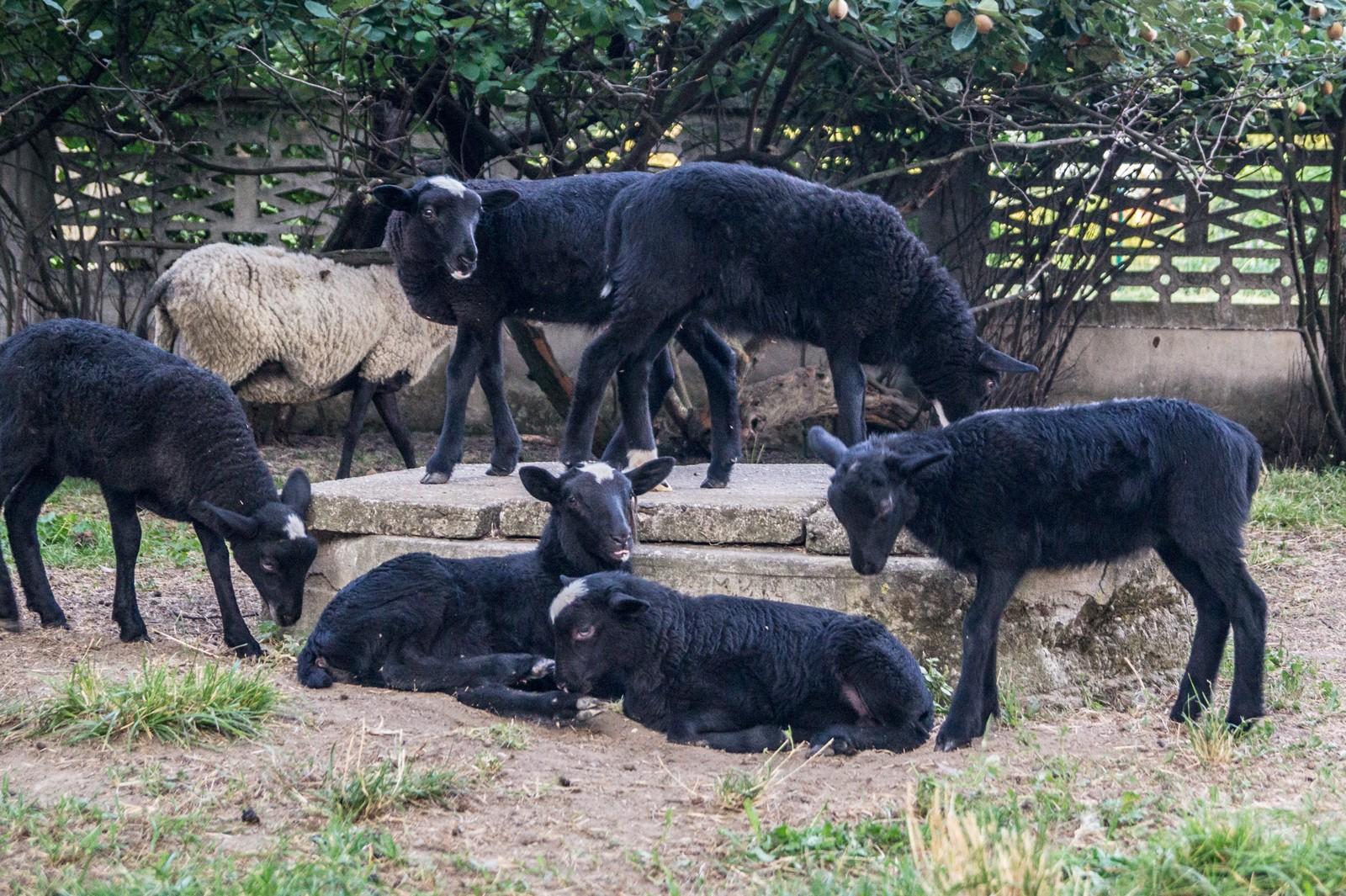 Romanov koyunlarının yetiştirilmesi