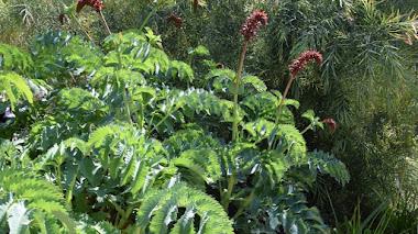 Melianthus major (flor de miel), plantas arquitectónicas para jardines mediterráneos