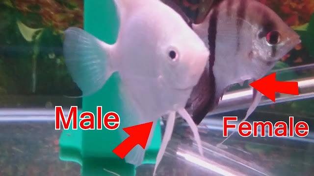 membedakan jenis kelamin manfish