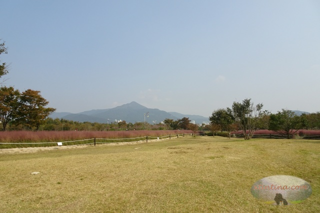 Nakdong Estuary Pink Muhly