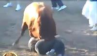 Cuộc thi đấu bò tót gây cấn và hấp dẫn ...