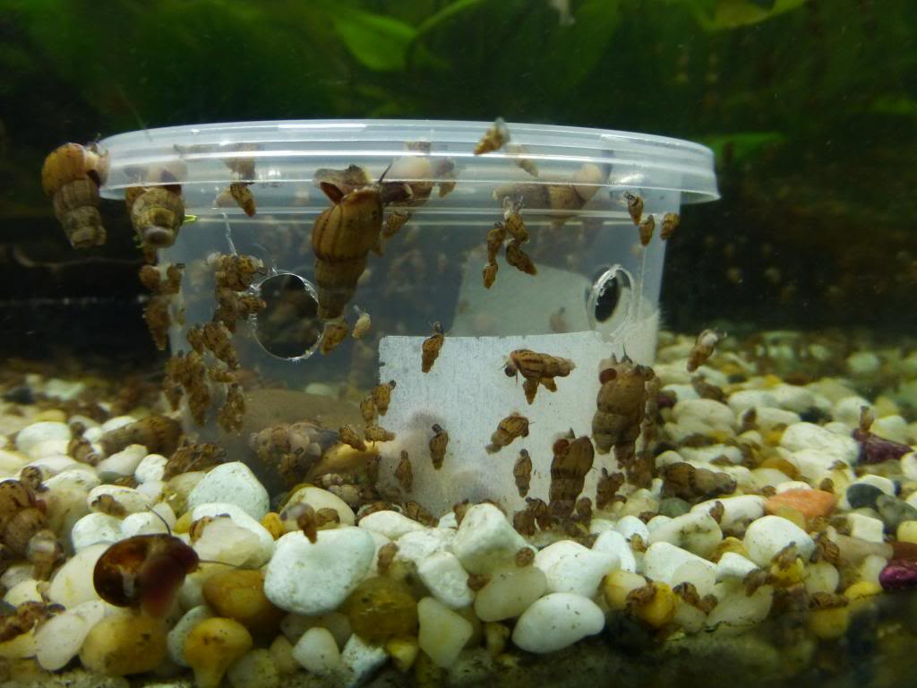 Plagas de caracoles c mo actuar y beneficios de una for Acuarios pequenos