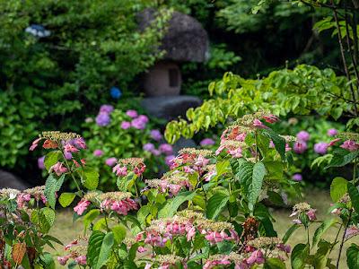 Ajisai (Hydrangea) flowers: Kawakita Kinenkan (Kamakura)
