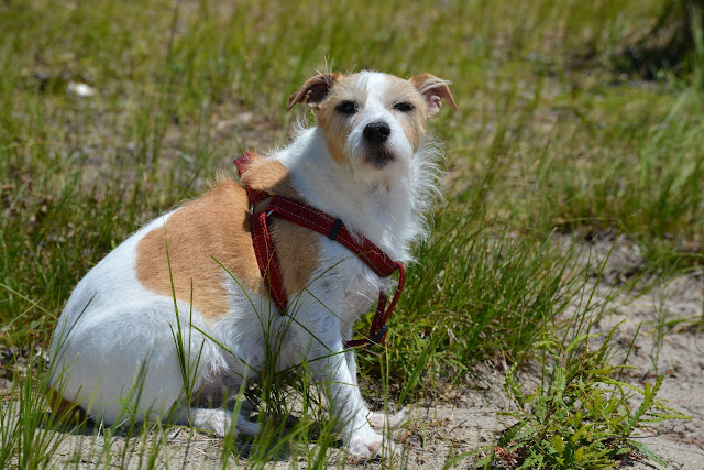 Itching and scratching Does my dog have a food allergy Paws For Reaction Jack Russell Terrier