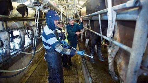 Muchamad Muchlas sedang bekerja di peternakan sapi perah new zealand