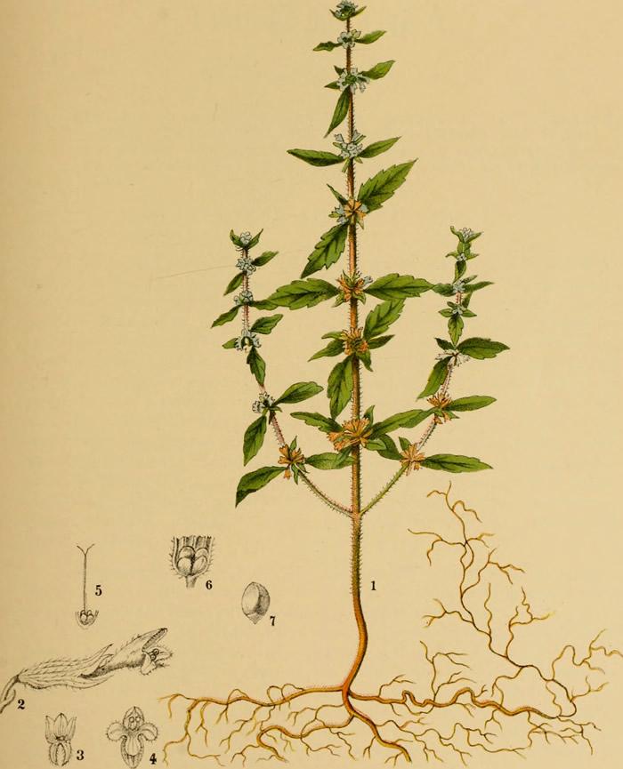 Pennyroyal illustration