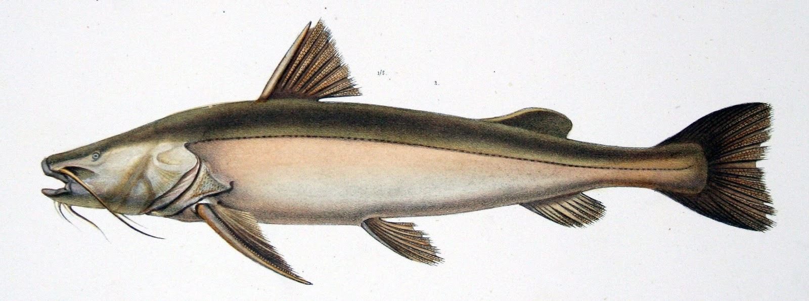Peixe Jaú (Paulicea luetkeni)