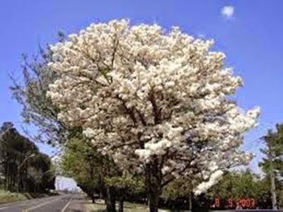 A foto mostra uma exuberante árvore de Ipê branco para embelezar e perfumar a estação primaveril.
