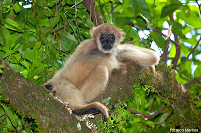 muriqui-do-sul, Brachyteles arachnoides, extinção, fotos de animais, animal ameaçado de extinção, maior primata das américas, macaco, muriqui, monkey, natureza, animal, conservação, mata atlântica, fauna em extinção, IUCN, espécie ameaçada