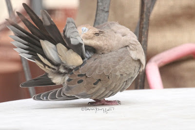 This is another picture of a Mourning dove preening. It is a slightly different view of the of bird referenced in the first image (two pictures above this one). I'm not sure of the bird's gender so I'll refer to the creature with the he pronoun. He is doing this activity while standing atop an outdoor garden table made of marble. The surface is white. From the position he is in we can only see one eye and it almost closed, which allows us to notice his pale blue eyelids —  a characteristic of Mourning doves. We can also see his pink feet which are a characteristic of this bird type. The feathers that he has preened are standing straight up (as shown in the left portion of the image) resembling a paper fan. Mourning doves have a story within volume one of my three volume book series. Info re these books is another post within this blog @ https://www.thelastleafgardener.com/2018/10/one-sheet-book-series-info.html