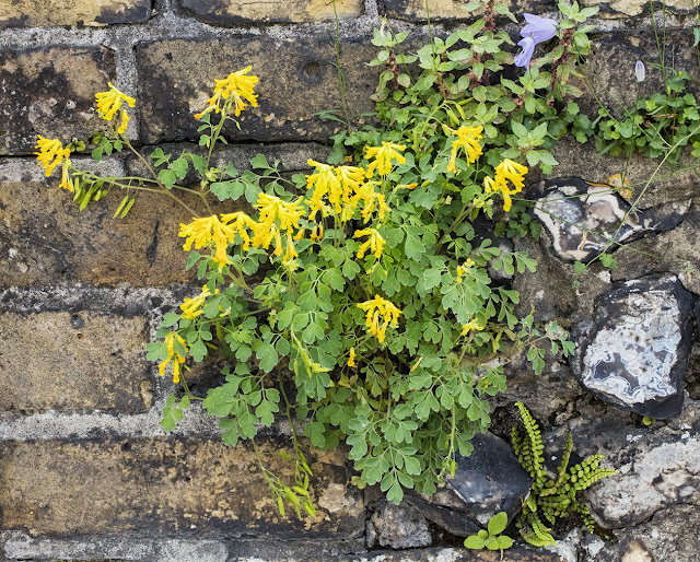 Yellow Corydalis, Pseudofumaria lutea.  Hayes churchyard wall, 25 June 2016.
