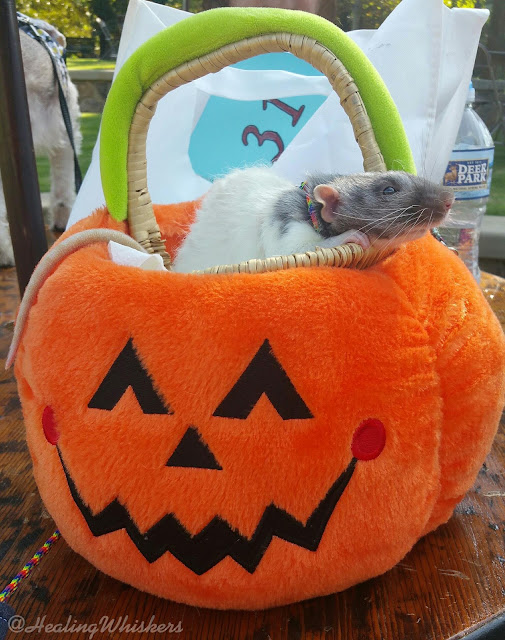 Vincent the therapy rat in a pumpkin basket in Sandy Springs