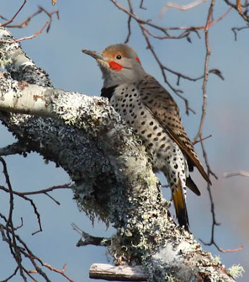 Photo of an intergrade Northern Flicker in a tree