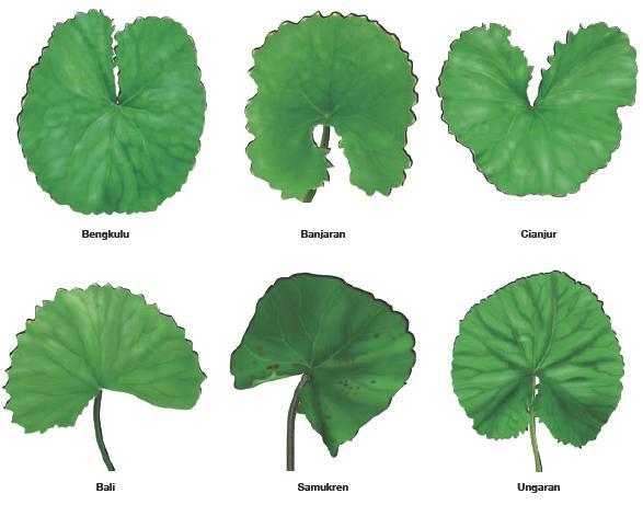 Wallpaper Blog Gue Gambar Daun Pegaga Herbal