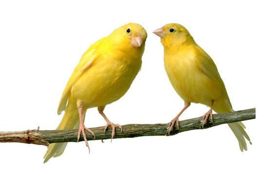 Suara burung kenari, Mp3 burung kenari, Download suara burung kenari, Kumpulan mp3 burung kenari, Kicauan burung kenari