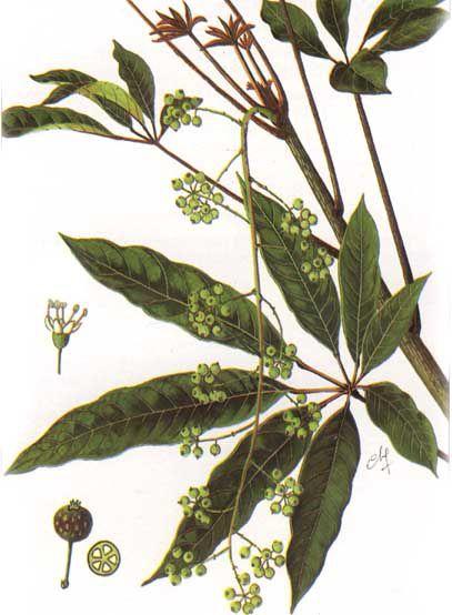 NAM SÂM - Schefflera octophylla - Nguyên liệu làm Thuốc Bổ, Thuốc Bồi Dưỡng