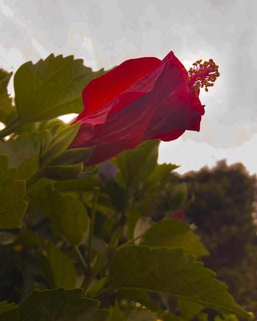 ハイビスカスは、陽が暮れると花が閉じる