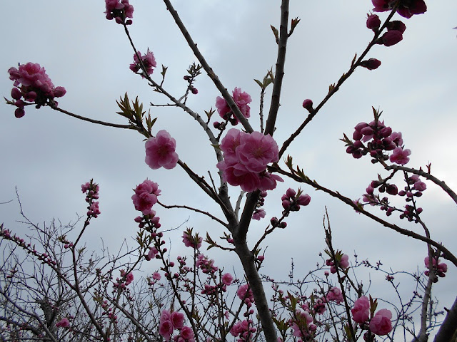 川沿の並木に咲くピンクの花2