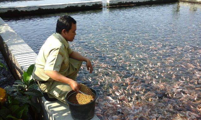 cara Pemberian Pakan Ikan