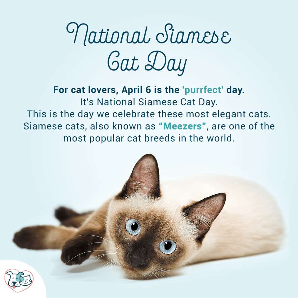 National Siamese Cat Day Wishes Lovely Pics