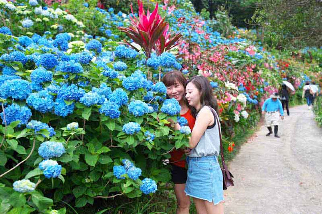 Young women, tourists posing among hydrangea flowers