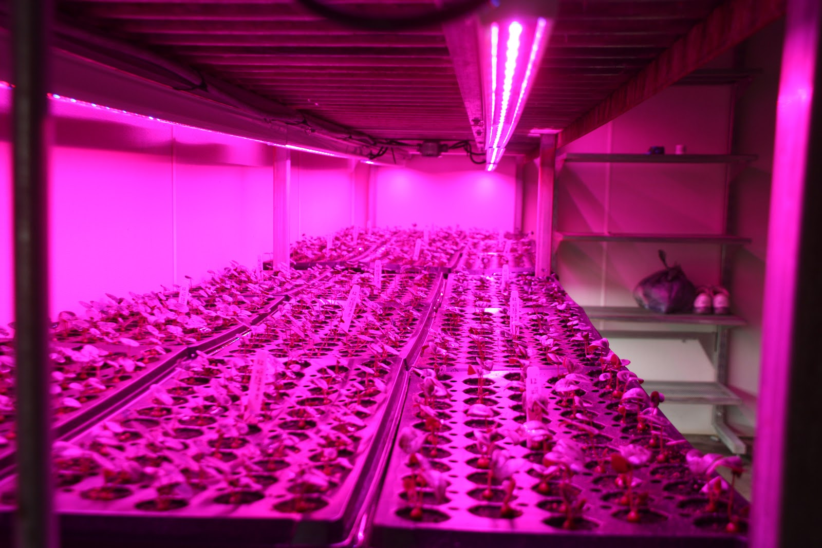 Horticultural Led Grow Lights Grower Looks To Increase Efficiency Options Solid Color Leds Cyclamen Being Grown Under In A Germination Chamber