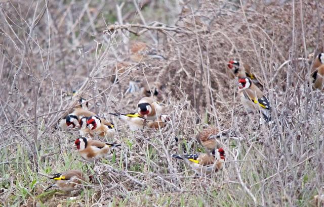 الحسون, موقنين,طائر, عصفور,إنقراض,صيد,تزاوج,إنتاج,خلوي