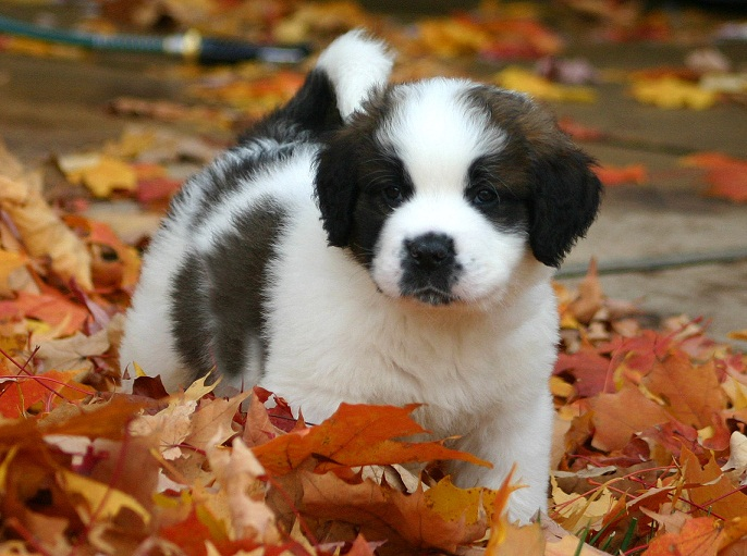Saint Bernard Puppies Pictures