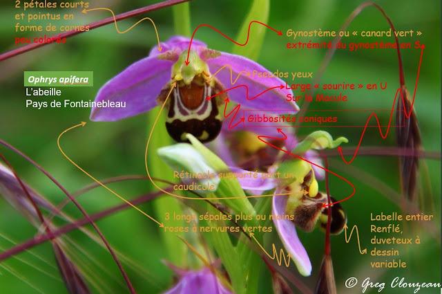 Ophrys apifera, Pays de Fontainebleau