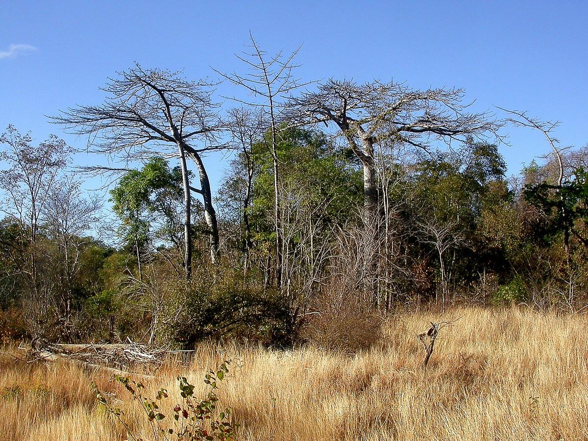 baobabs de l'Ankarana