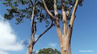 Rainbow eucalyptus (deglupta) - Dole Plantation, Oahu, HI