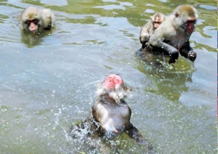 ニホンザル池で水遊び!お猿の国