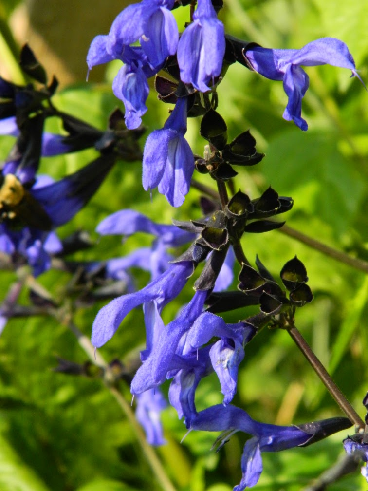 Salvia guaranitica 'Black and Blue' Anise scented sage at Toronto Botanical Garden by garden muses-not another Toronto gardening blog