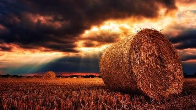 Pakan Ternak Sapi Selain Rumput Peternakan Cakmarlan