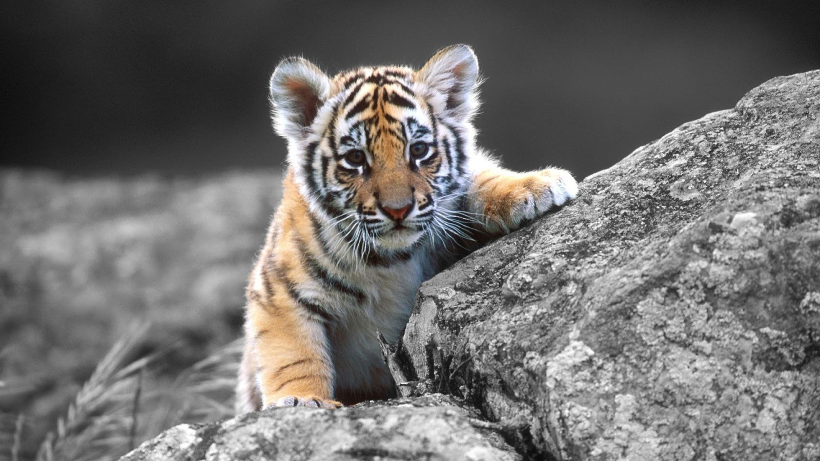 Wonderful Wallpaper Mobile Tiger - Tiger%2BFull%2BHD%2BWallpaper%2B1  HD_168498.jpg