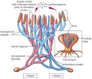 Karakteristik Jamur, spora jamur, ascospora adalah