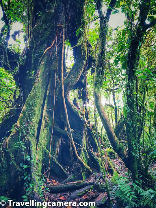 Shapes and size of trees inside Monteverde Cloud Forest has been surprising us almost at every step.