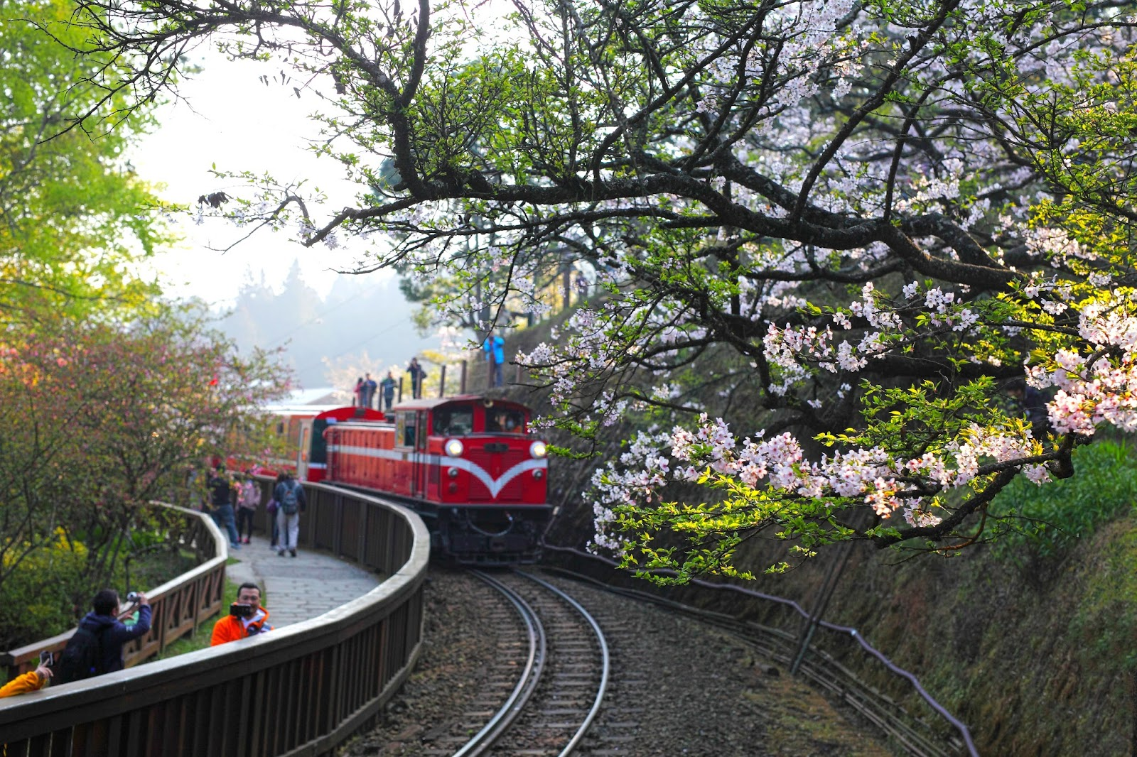 阿里山櫻花季開跑》5 大賞櫻名所第一站,先看百年「櫻王」指標樹預測花況 | VidaOrange