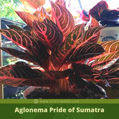Ciri Ciri Pohon Aglonema Pride of Sumatra