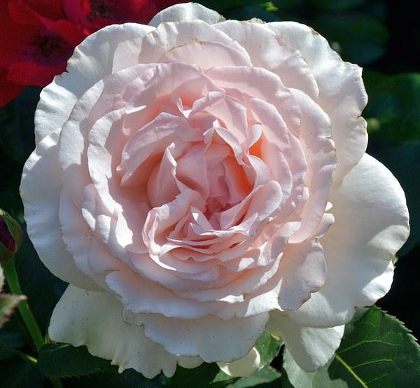 Roberto Capucci роза фото