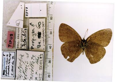Mariposa de los pastos (Yphthimoides celmis)