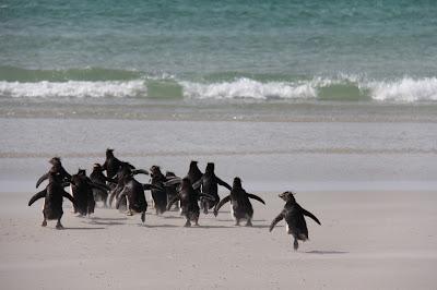 福克蘭群島 - 企鵝