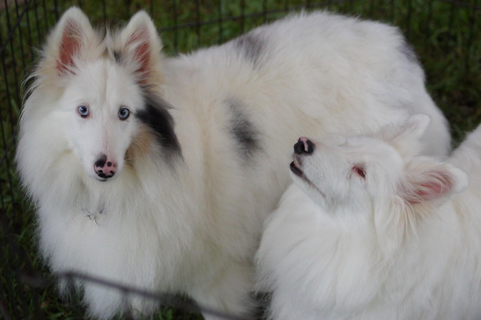 White Dog Blog New Double Merle Article
